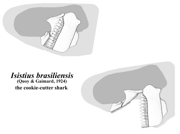 Palatoquadrate (upper jaw) and hyomandible (lower jaw) of Isistius brasiliensis (Quoy & ?, 1854).