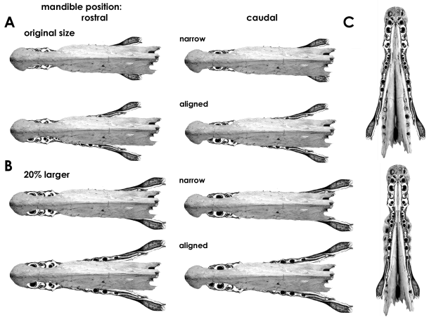 "Spinosaurine cranial fragments in lateral view, based on BSP 1912 VIII 19 (after von Stromer, 1915) and MSNM V4047 (after dal Sasso et al., 2006). C represents a conjoined alveolar view of both specimens. A, ""natural"" sizes of the fragments in rostral (left) and caudal (right) positions of the mandible, as determined by the the text, and ""narrow"" and ""aligned"" gagues, as determined by direction of dental carinae orientation. B, same, but with the mandible increased by 20% in all dimensions. C, ""aligned"" and ""narrow"" gauges of the mandible."