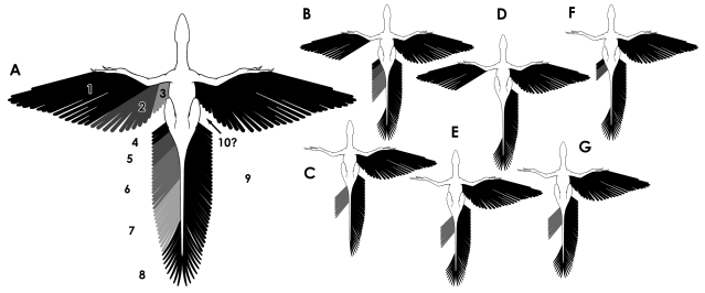 Jeholornis remigial-retricial feather distribution sm